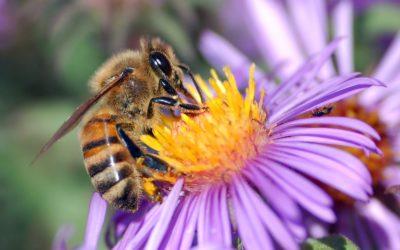 Honey Bee Population Decline in Michigan