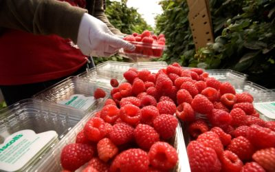 How Driscoll's Is Creating Shared Value in Berry Supply Chains